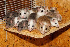 mice-800875_960_720