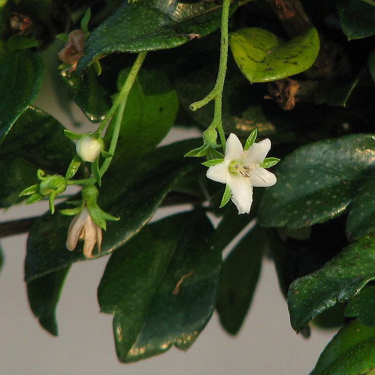 tea tree fiore